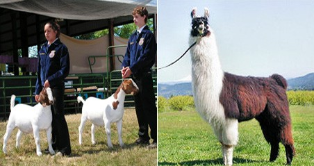 goats_home2