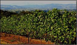 vineyard250